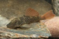 Chaetostoma aff. lineopunctatum - Click for species page