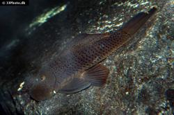 Chaetostoma aff. lineopunctatum
