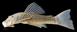 Chaetostoma anale - Click for species page