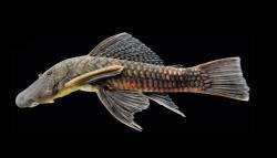 Chaetostoma dermorhynchus
