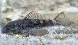 Chaetostoma dorsale