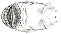 Chaetostoma milesi