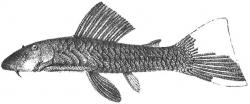 Chaetostoma palmeri - Click for species page