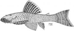 Chaetostoma patiae