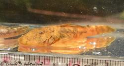 Chaetostoma platyrhynchus - Click for species data page