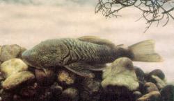 Chaetostoma sovichthys