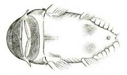 Chaetostoma vagum
