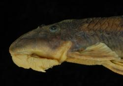Chauliocheilos saxatilis