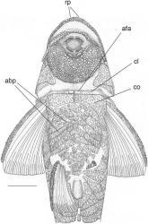 Curculionichthys insperatus
