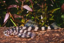 Dekeyseria picta - Click for species page