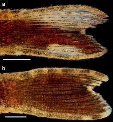 Epactionotus gracilis