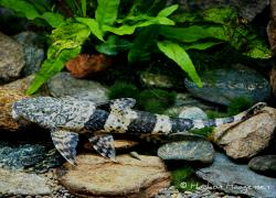 Fonchiiloricaria nanodon - Click for species data page