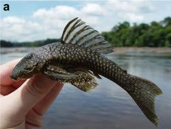 Guyanancistrus longispinis - Click for species page