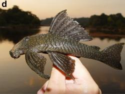 Guyanancistrus niger - Click for species data page