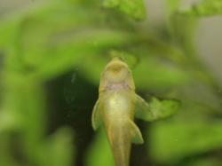 Hisonotus francirochai