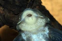 Hypancistrus sp. (L201)