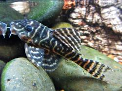 Hypancistrus sp. (L340) - Click for species data page