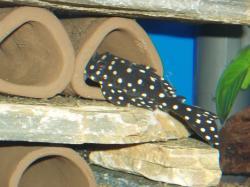 Hypancistrus sp. (L471) - Click for species page