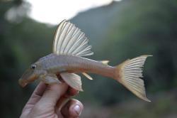 Hypostomus francisci