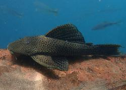 Hypostomus froehlichi - Click for species data page