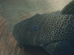 Hypostomus froehlichi