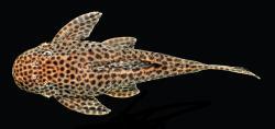 Hypostomus jaguar