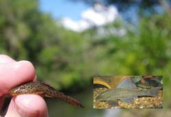 Hypostomus laplatae