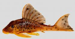 Hypostomus macushi - Click for species data page