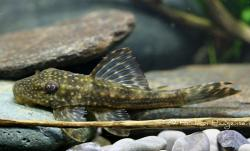 Hypostomus margaritifer