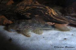 Hypostomus micromaculatus - Click for species data page