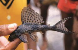 Hypostomus nematopterus - Click for species page