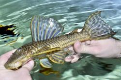 Hypostomus sp. `RIO IGUAZU` - Click for species page