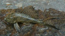 Hypostomus sp. (L087) - Click for species data page