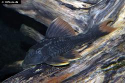 Hypostomus sp. (L360) - Click for species data page