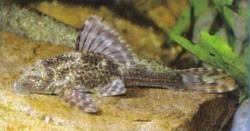 Hypostomus sp. (L367) - Click for species data page