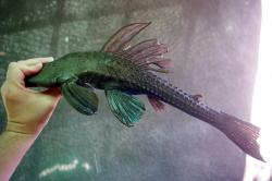 Hypostomus spiniger - Click for species data page