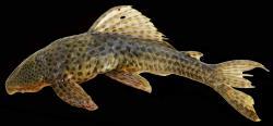 Hypostomus velhochico - Click for species page