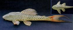 Hypostomus watwata - Click for species page