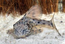 Hypostomus weberi