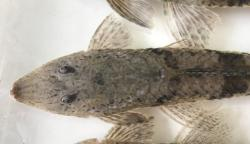 Loricariichthys hauxwelli