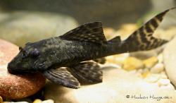 Panaqolus nocturnus