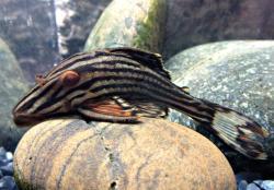 Panaque cf. armbrusteri`xingu` - Click for species page