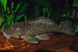 Parancistrus aurantiacus - Click for species data page