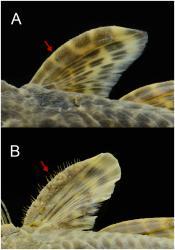 Pareiorhaphis hystrix
