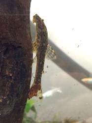 Parotocinclus doceanus