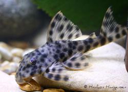 Peckoltia oligospila - Click for species page