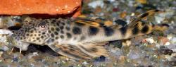 Peckoltia sabaji
