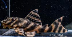 Peckoltia sp. `RIO NEGRO II` - Click for species page
