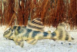 Peckoltia sp. `RIO UATUMA` - Click for species page