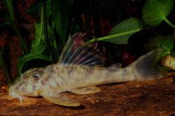 Peckoltia sp. (L072)